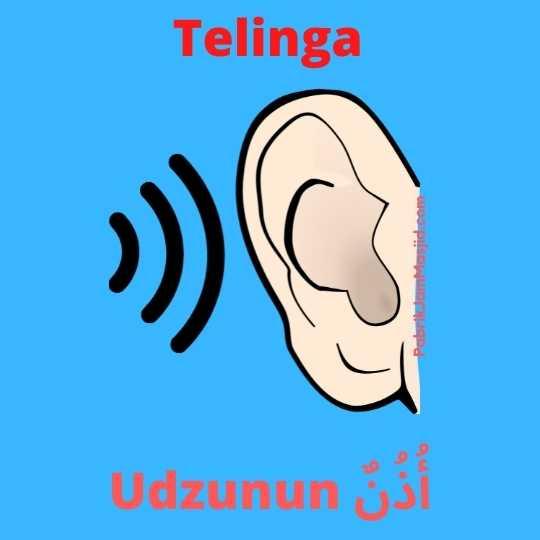 Udzunun artinya Telinga Bahasa Arab