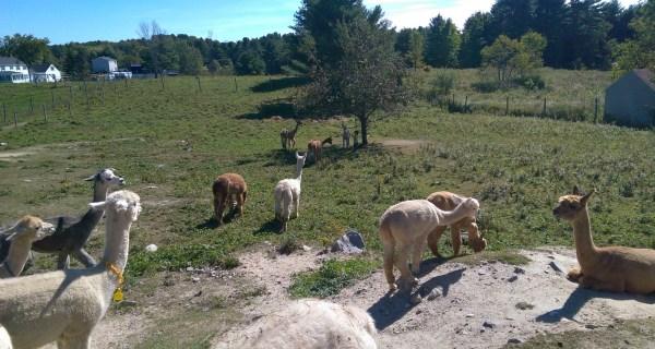 Alpacas and the apple tree
