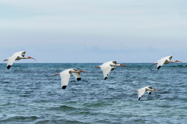 Ibis flying over the ocean