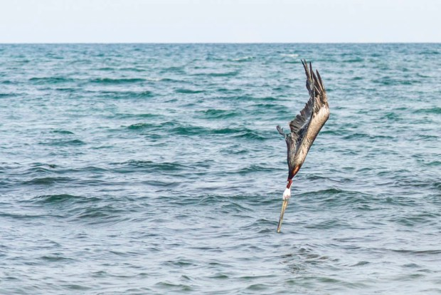 Pelican diving for food