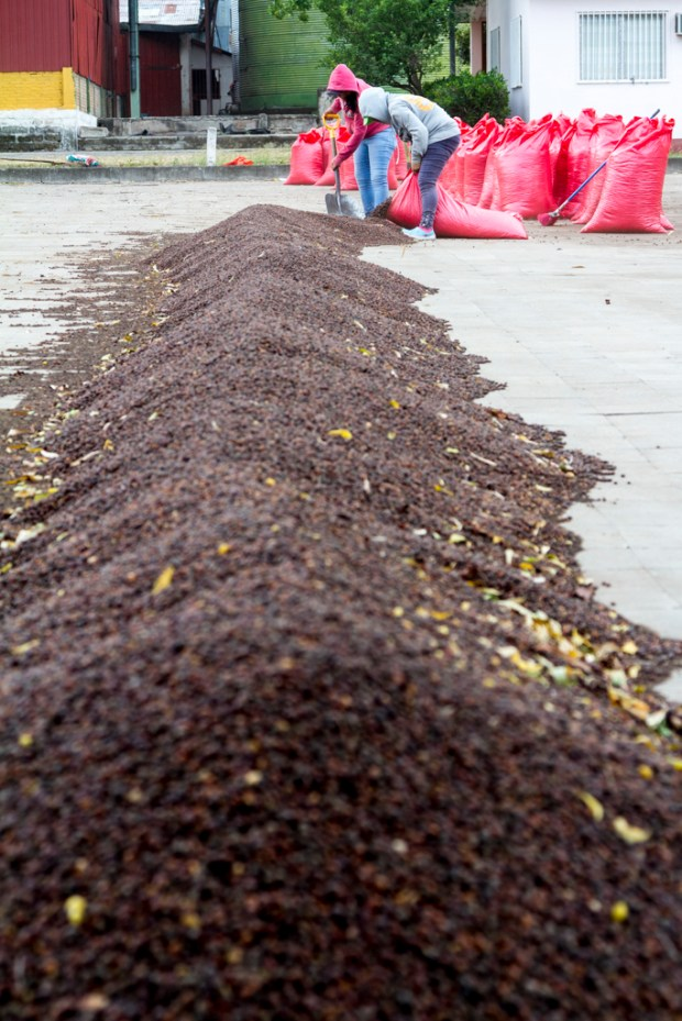 Coffee beans being dried