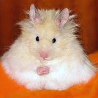 Meditating Hamster