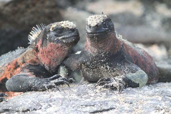 Iguanes marins des Galapagos