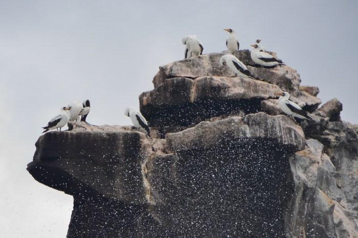 Oiseaux des Galapagos