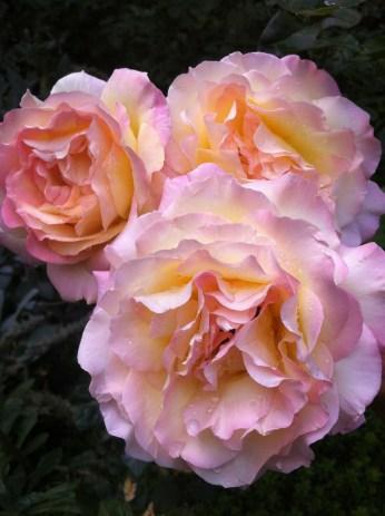 endless....soft petals