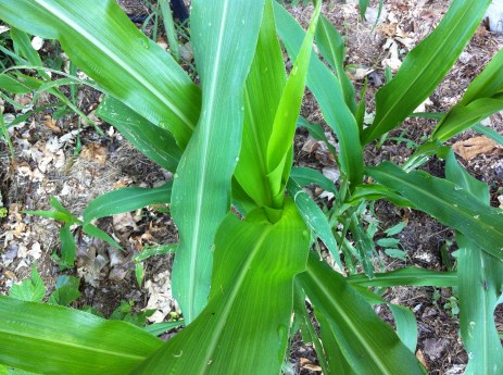 """my heirloom """"Glass Gem"""" corn, whose seeds were planted by my friend, after I sent them to my new home and garden"""