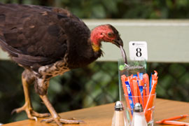 Scrub turkey helpsm itself to sugar at Sea acres cafe, Port Macquarie