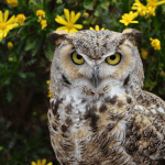 Tumbleweed - Great-Horned Owl