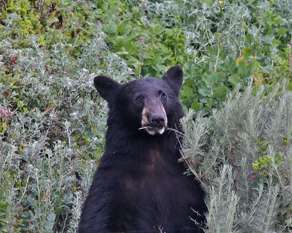 Black Bear samples cuisine at Morro Rock