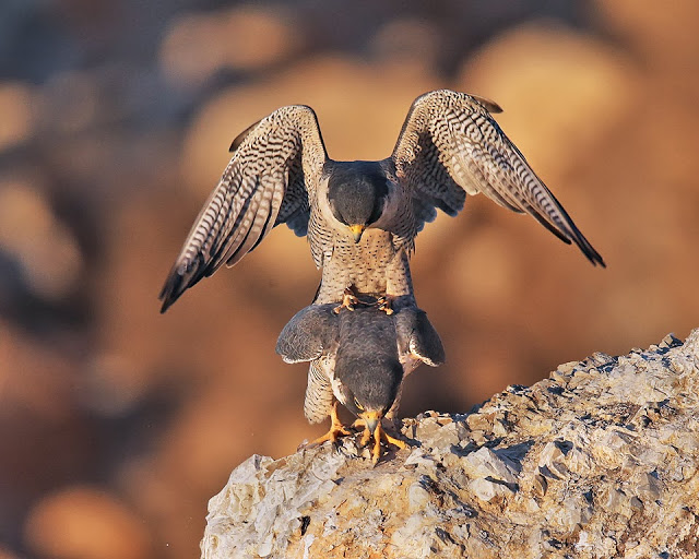 peregrine breeding, falcon,