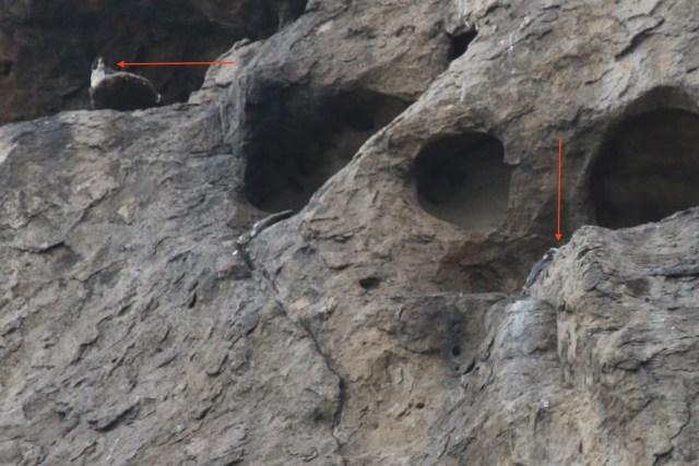 birds, peregrine, juvenile, Morro Rock