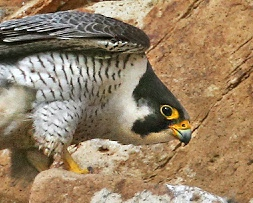 malar stripe, peregrine, juvenile, Morro Bay, Morro Rock