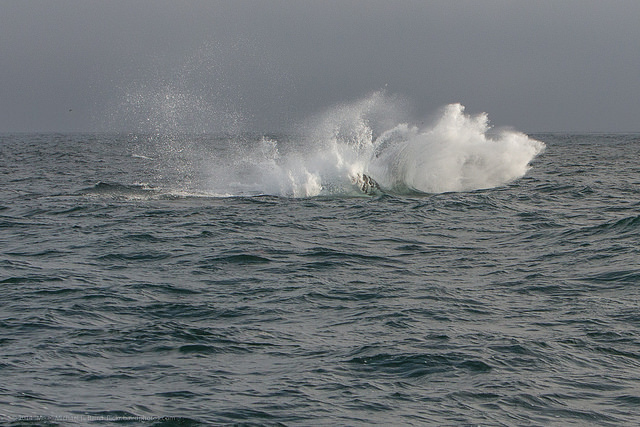 Humpback breached and splashed back down