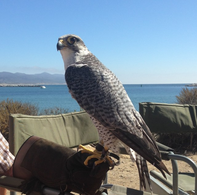 hybrid peregrine gyrfalcon, Morro Rock, Morro Bay, CA