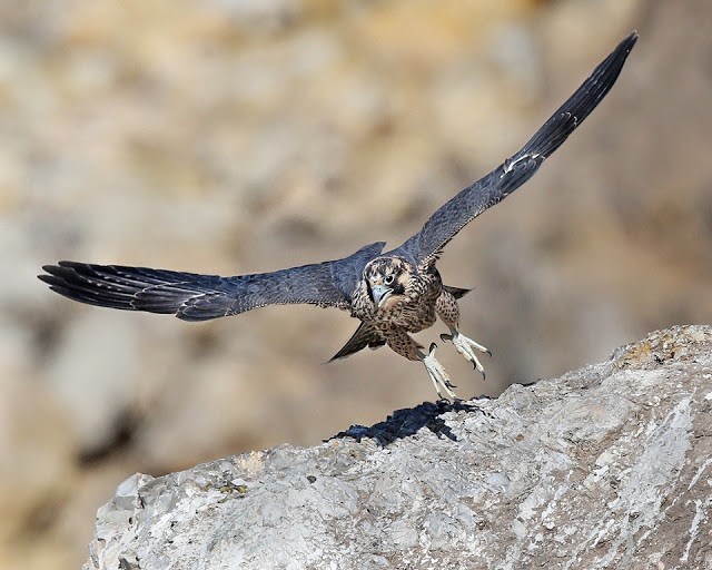 peregrine juveniles at Morro Rock, Morro Bay CA
