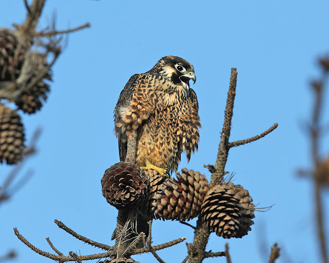 Shell Beach juvenile peregrine Photo by Cleve Nash