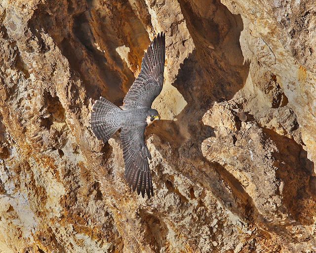 Peregrine over a rock face Photo by Cleve Nash