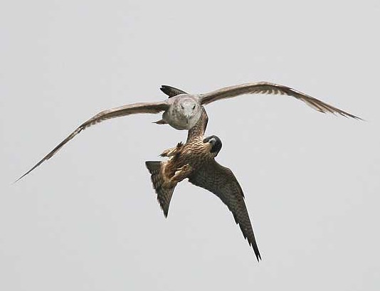 Strafing a gull Photo by Cleve Nash