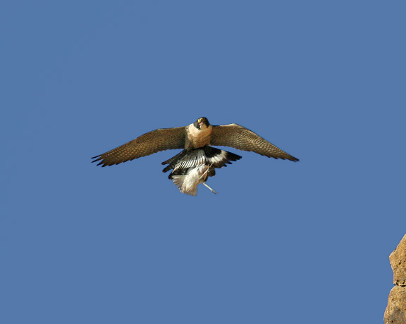 Peregrine with willet  Photo by Cleve Nash