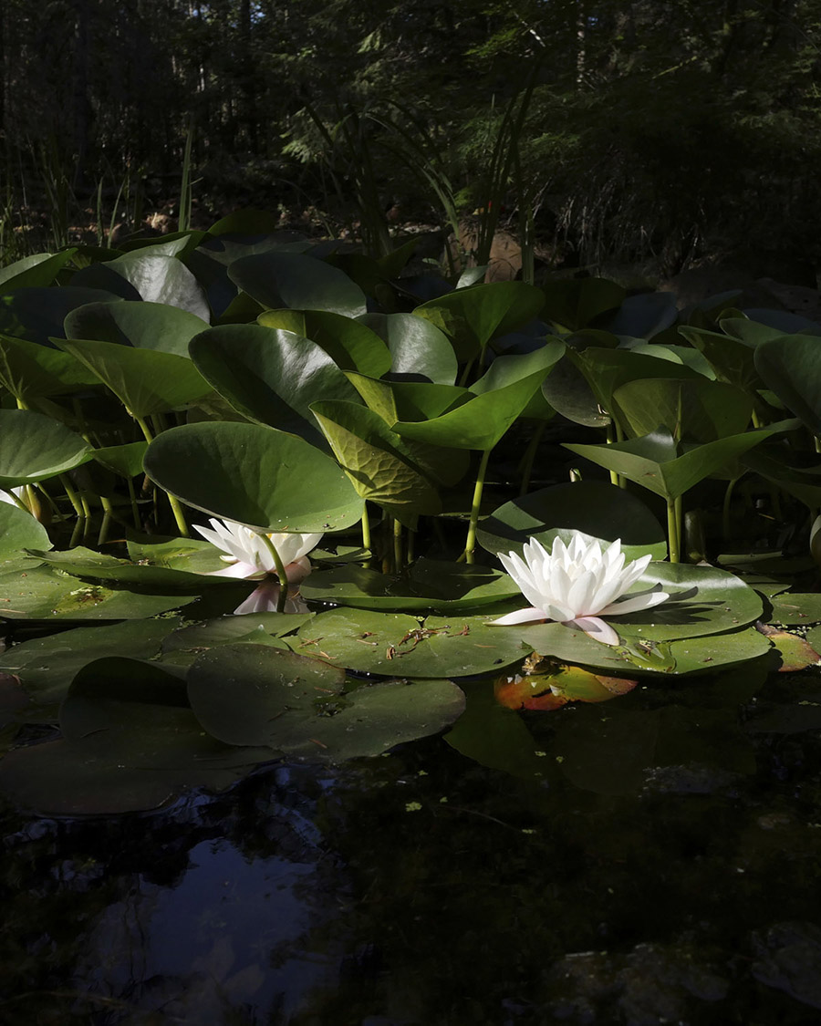 Pacific Hermitage | white lotus flower background image