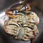 Dungeness Crabs in sink for cleaning.