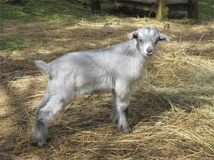 5 week old cashmere goat, Brookfield Farm, WA