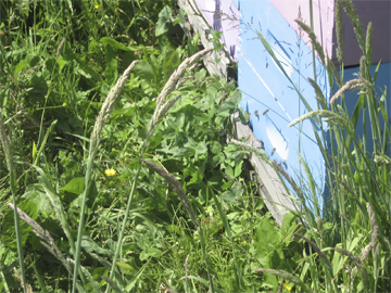 Honeybee hive entrance obscured by grass