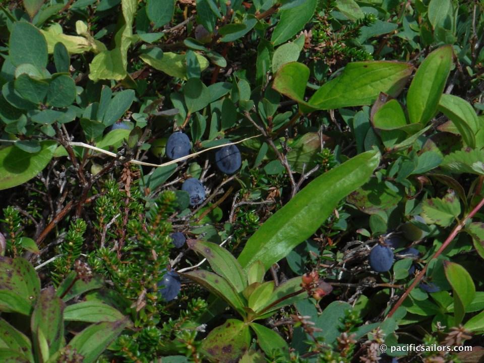 Hatcher Pass Blueberries