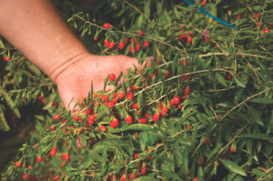 These days, the gogi berry is touted as a superfood.