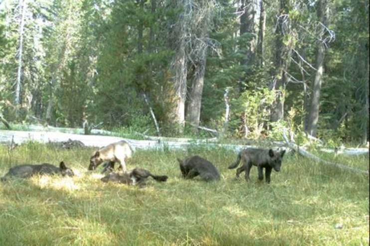 Shasta Pack pups, August 2015. Photo courtesy of CDFW.