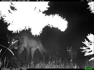 Imnaha Pack wolves, Aug 11, 2010. Photo courtesy of ODFW.