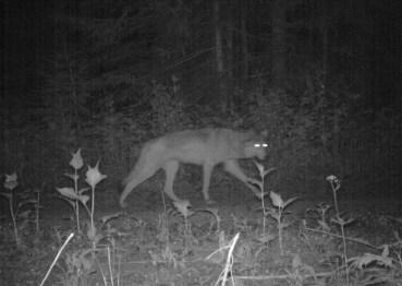 Walla Walla Pack wolf, Aug 11, 2011. Photo courtesy of ODFW.