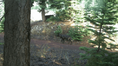 Adult canid in Siskiyou County, July, 2015. Photo courtesy of CDFW.