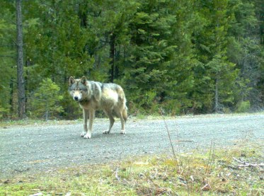 OR-7, breeding male of the Rogue Pack, May 3, 2014. Photo courtesy of USFWS.