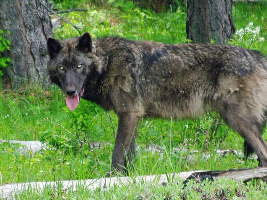 OR-26 breeding male of the Meacham Pack. Photo courtesy of ODFW.