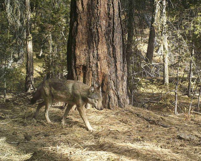 Loup Loup Pack wolf. Photo courtesy of David Moskowitz.