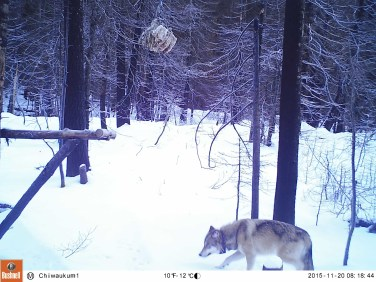 Collared Teanaway Pack wolf, November 2015. Photo courtesy of Conservation NW.
