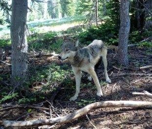 Lookout Pack yearling. Photo courtesy of WDFW.
