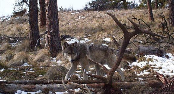 The Wenatchee Pack wovles, March 2013. Photo courtesy of WDFW.