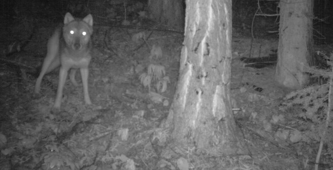 Teanaway Pack wolf, July 2011. Photo courtesy of Conservation NW.