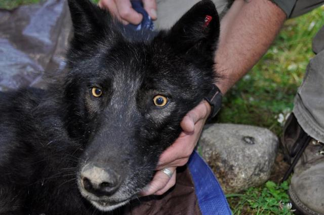 Ione of the Ruby Creek Pack being collared by WDFW, July 2013. Photo courtesy of Rich Lander.