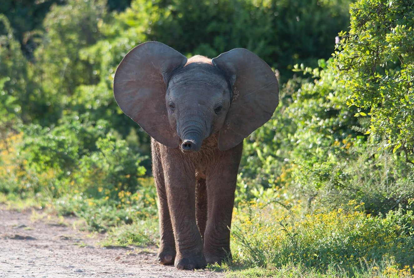 Baby elephant in Addo National Park, South Africa
