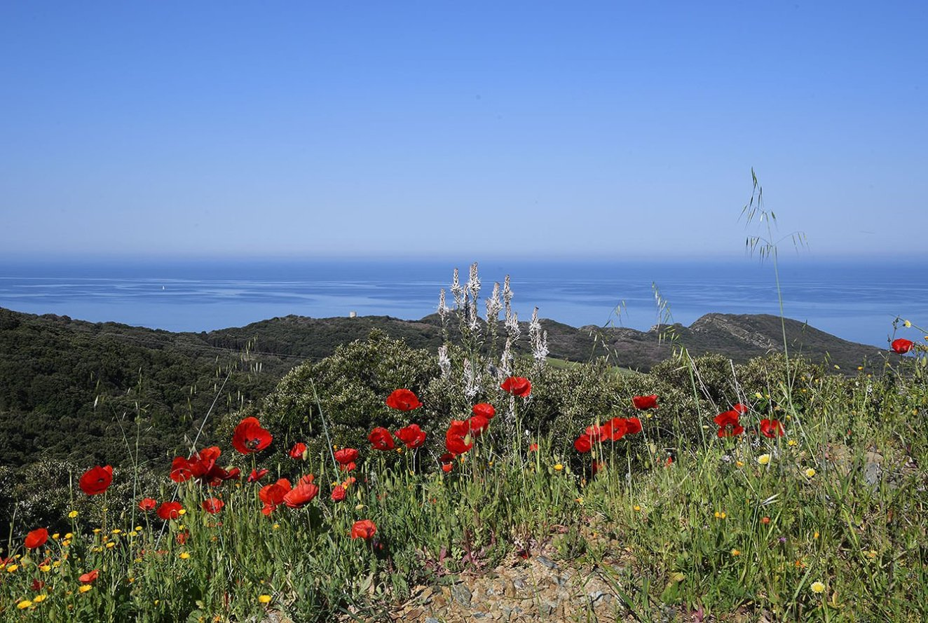 View over the Mediterranean Sea over some beautiful Poppies - Corsica - France