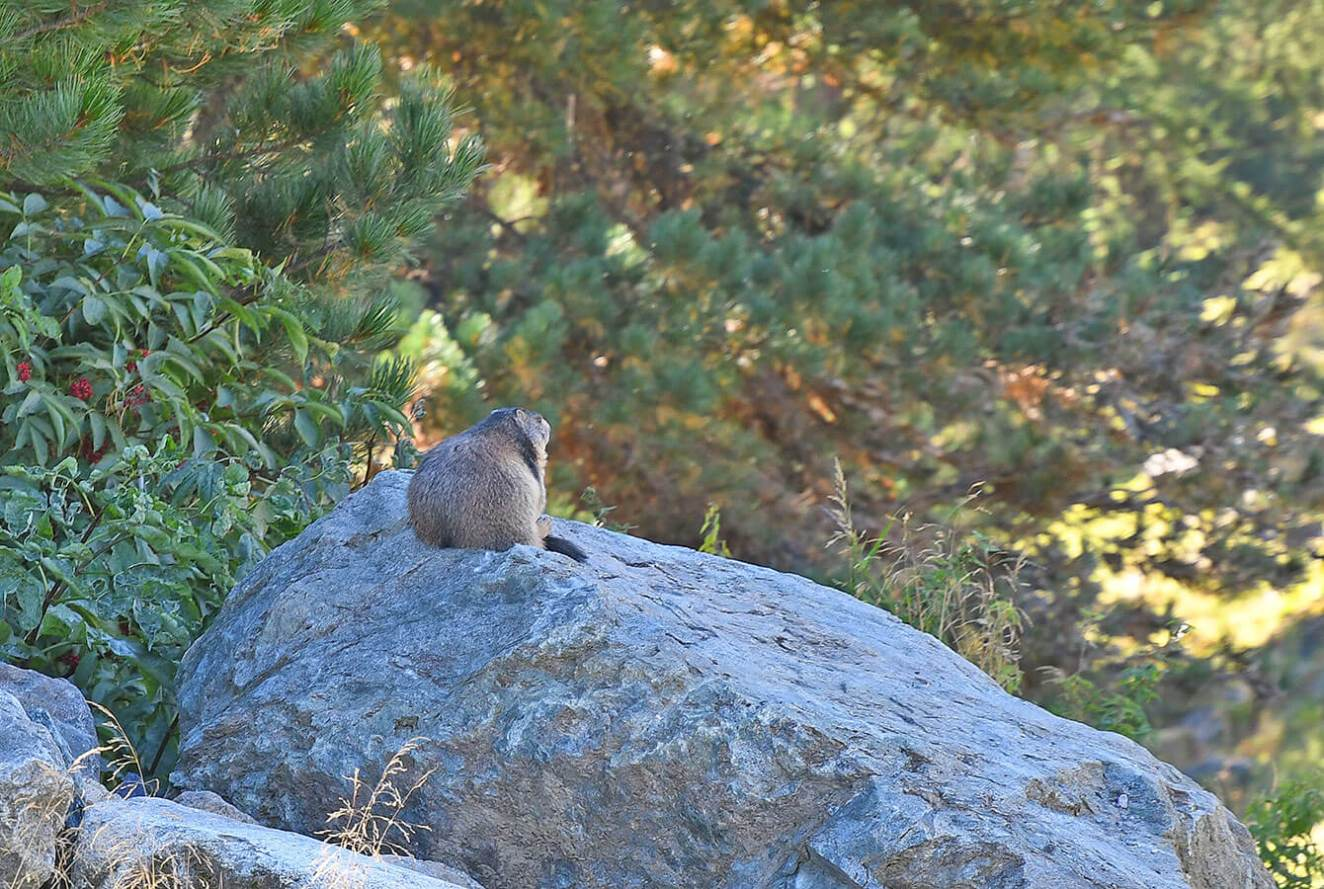 Swiss Mountain mammals - La Marmot - Valais - Switzerland