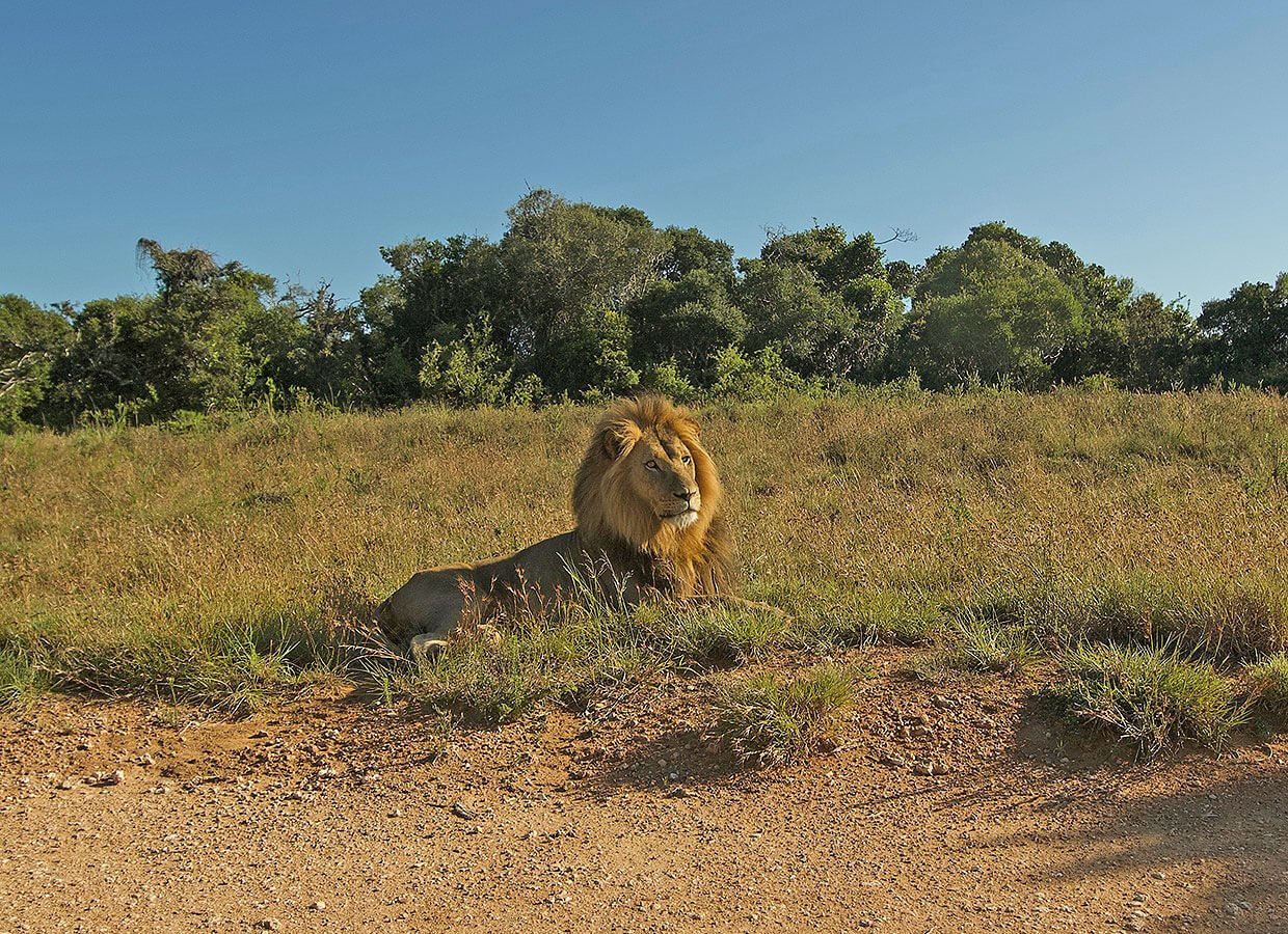 Lion posing in the Addo Elephant Park
