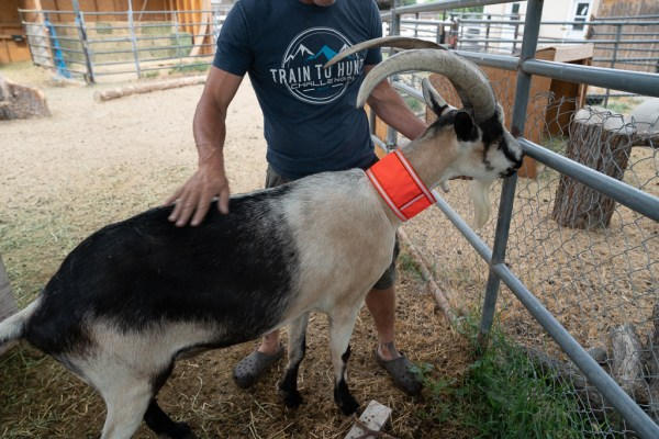 Goat with High Visibility Neckband