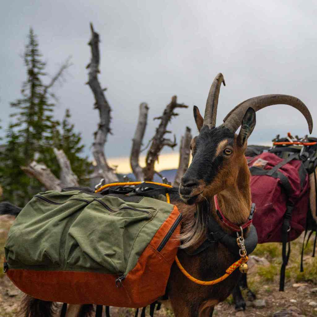 Picking a Pack Goat Saddle