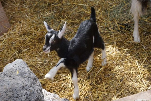 buy a baby goat
