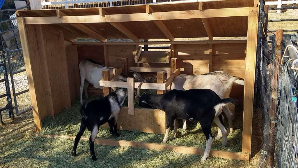 Adolescent horned goat feeder