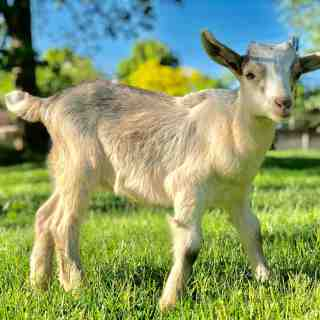 How to Raise a Baby Goat Course